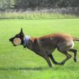 Många hunddressörer delar upp momenten i beståndsdelalar under träningen med hunden. Ännu viktigare är detta under inlärningen av ett moment. Det är svårt att träna ett helt moment i sin […]