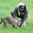 Dressyrlära är ett stort område inom hundsporten. Som man aldrig kan bli fullärd i. Utvecklingen går framåt hela tiden. Idag har man mer eller mindre kommit ifrån hugg och slag […]