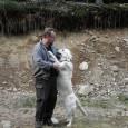 Skärpa är hundens aggressivitet. Det är en avstånds ökande funktion. Hunden vill helt enkelt inte att vederbörande kommer närmare.Skärpan kan rikta sig mot människor, djur och andra saker och föremål. […]