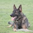 Försvarsmaktens hundtjänstenhet, FHTE, är en del av Livgardet. De bedriver sin verksamhet utanför Märsta, norr om Stockholm. Samt vid hundavelsstationen i Sollefteå. Det blåser förändringens vindar inom organisationen iförsvarsmakten. För […]