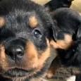 Här kommer ännu en s k infographics från den amerikanska hundsida: The Dog Training Secret som lär ut allmänt hundvett – på amerikansk sätt. Det kan ju finnas en del […]